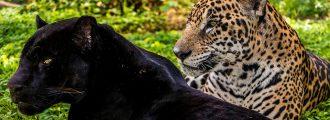 Comparison Between A Black Jaguar And A Normal Jaguar